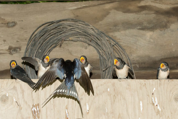 feeding swallows by Jonathan Avery