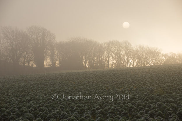 misty morning over the brussel sprouts